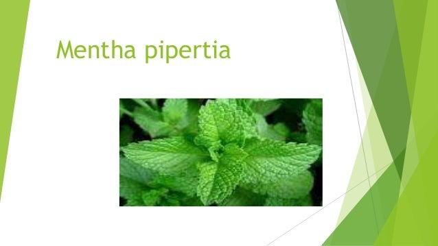 Mentha pipertia