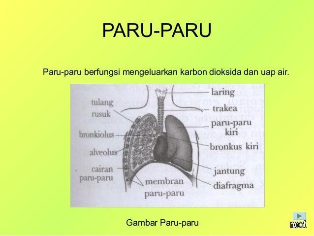 PARU-PARUParu-paru berada di dalam rongga dada manusia sebelah kanan dan kiri yang dilindungi olehtulang-tulang rusuk. Par...
