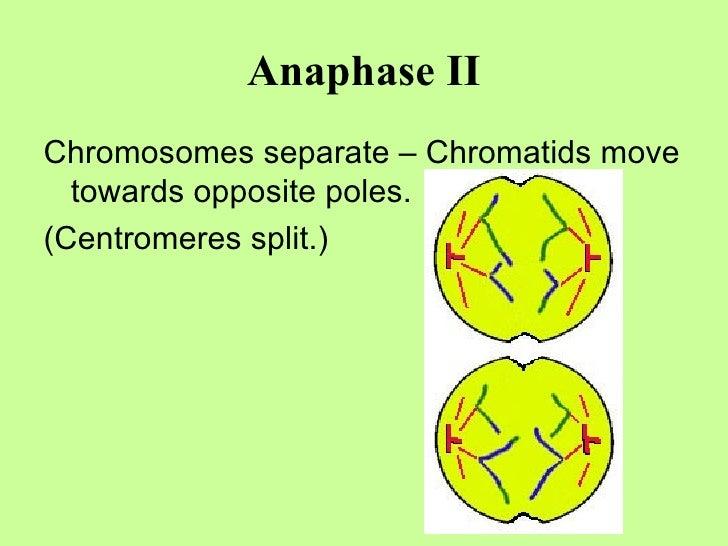 Anaphase II <ul><li>Chromosomes separate – Chromatids move towards opposite poles. </li></ul><ul><li>(Centromeres split.) ...