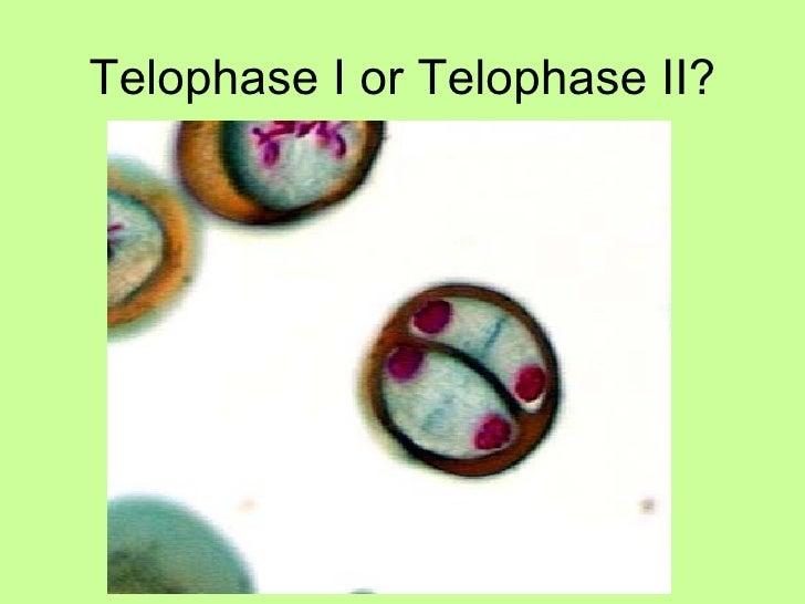 Telophase I or Telophase II?