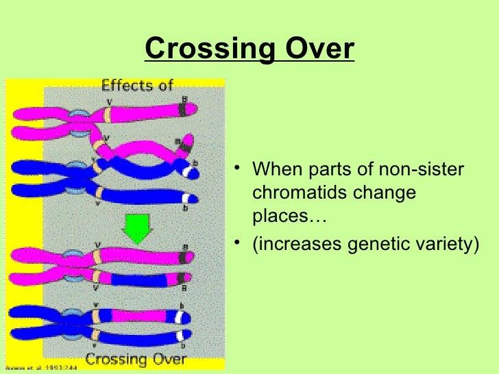 Crossing Over <ul><li>When parts of non-sister chromatids change places… </li></ul><ul><li>(increases genetic variety) </l...
