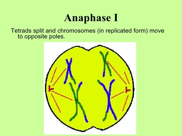 Anaphase I <ul><li>Tetrads split and chromosomes (in replicated form) move to opposite poles. </li></ul>