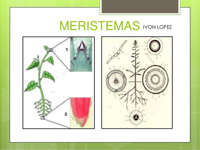 MERISTEMAS IVON LOPEZ