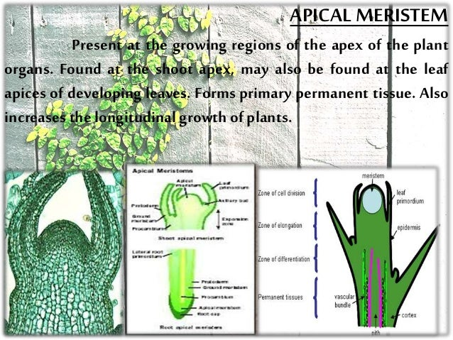 meristematic tissue In vascular plants, the lateral meristem is one of two meristems in which growth  occurs in order to increase stem girth a meristem is the region of plant tissue.