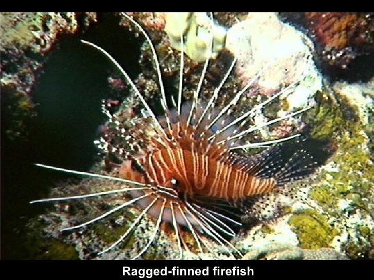 Ragged-finned firefish