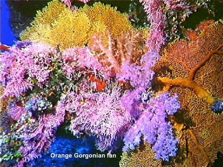 Orange Gorgonian fan