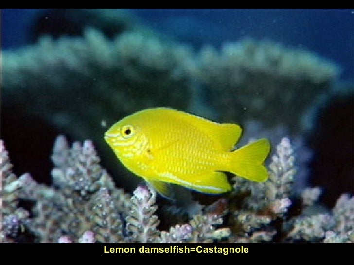 Lemon damselfish=Castagnole