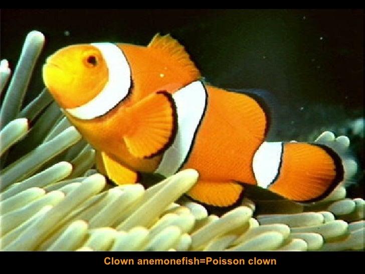 Clown anemonefish=Poisson clown