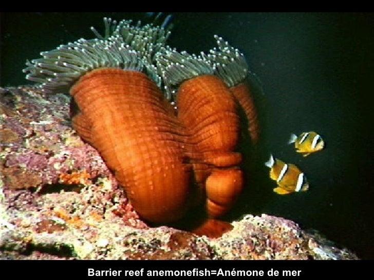 Barrier   reef anemonefish=Anémone de mer