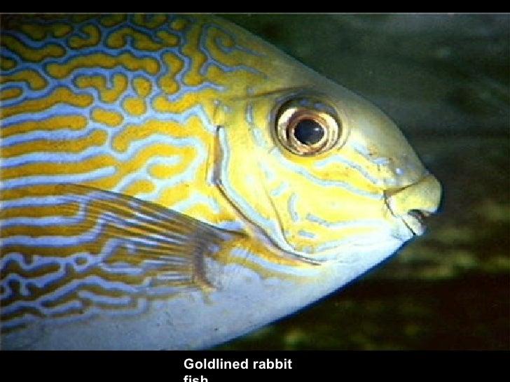 Goldlined rabbit fish