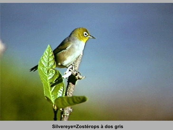 Silvereye=Zostérops à dos gris