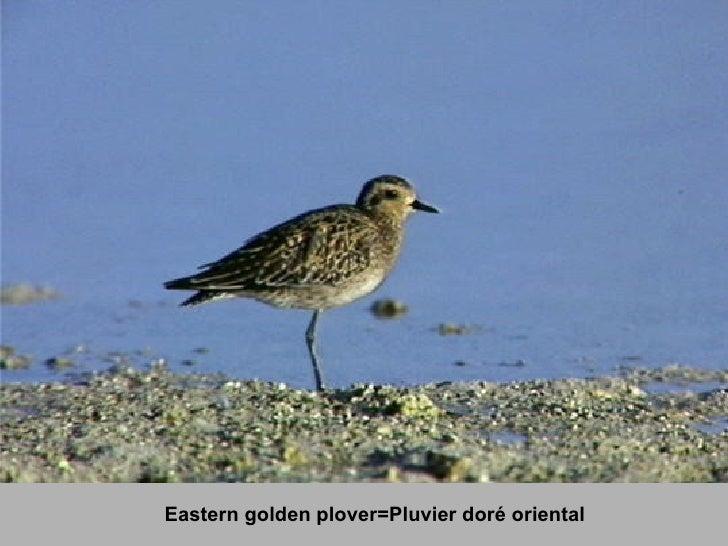 Eastern golden plover=Pluvier doré oriental