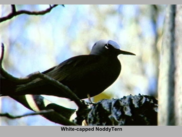 White-capped NoddyTern