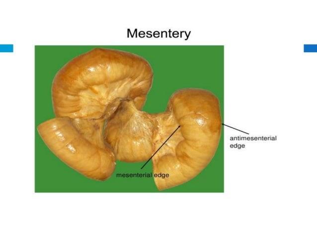 Mesentery
