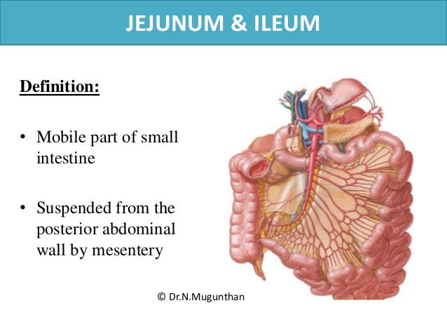 small intestine notes There are three parts of the small intestine - duodenum, jejunum, and ileum read on to the know them in detail, including their anatomy, function, and histological structure.
