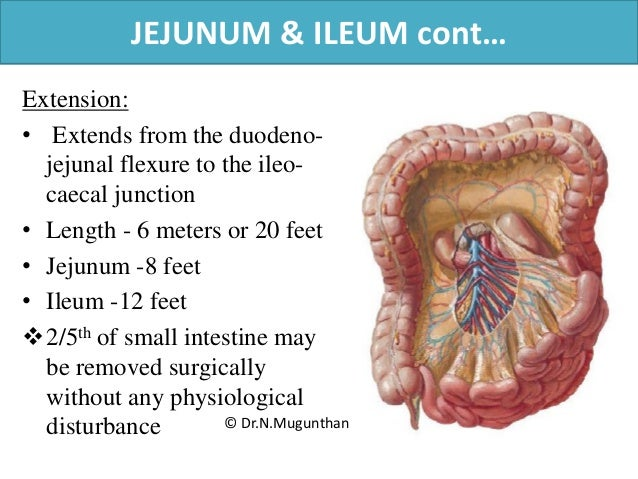 Mesentery Jejunum Ileum Superior Mesenteric Artery Pdf Lecture N
