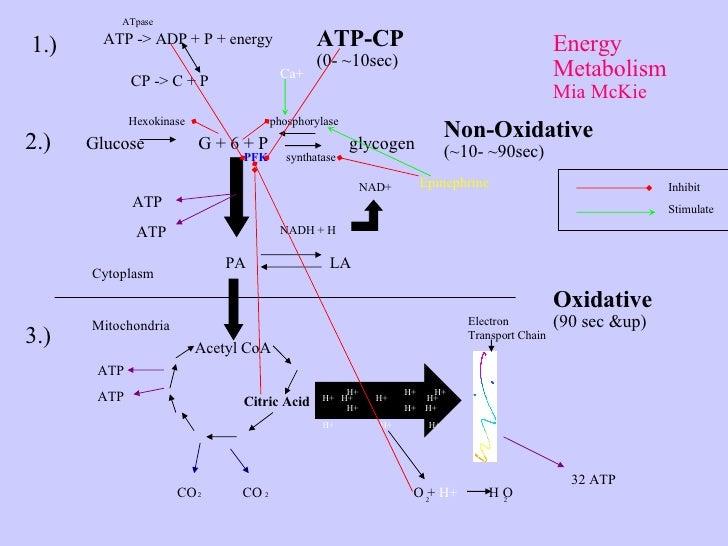 ATP -> ADP + P + energy ATpase CP -> C + P 1.) 2.) Glucose  G + 6 + P  glycogen Hexokinase  phosphorylase ATP ATP PA  LA  ...