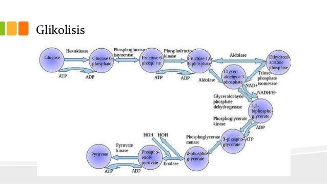 Pengertian Glikolisis dan 10 Tahap Glikolisis