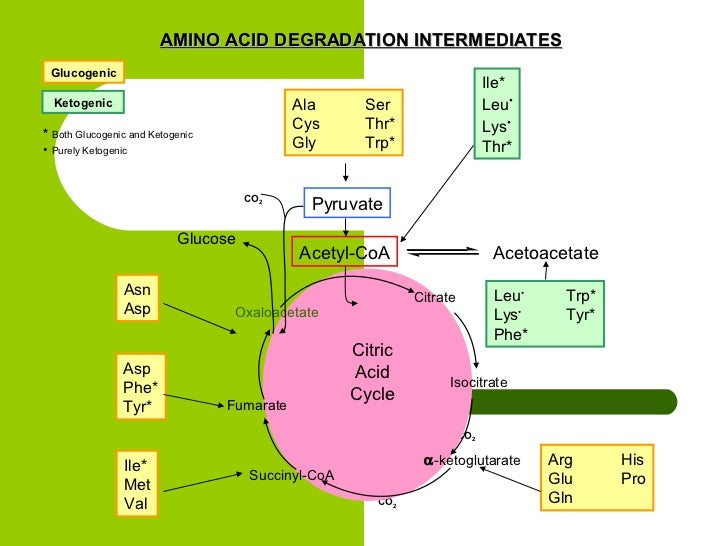 Metabolisme Protein dalam Tubuh