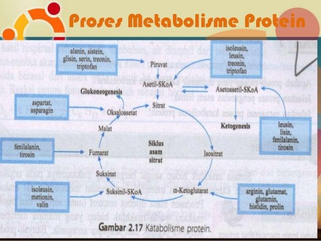 Karakteritik, Pencernaan, dan Metabolisme Protein dan Asam Amino