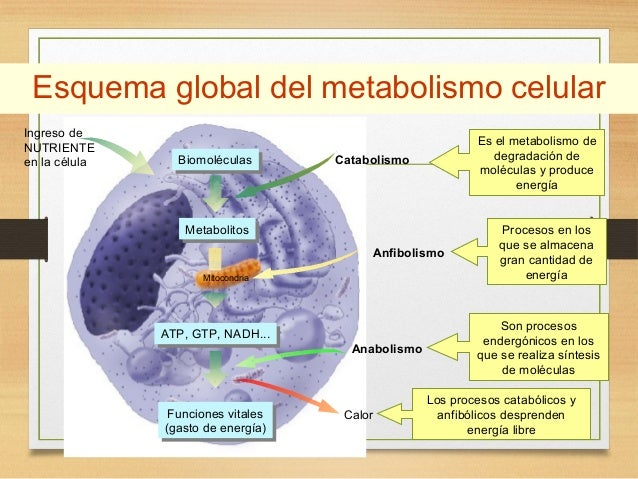 Metabolismo glucosa ayuno