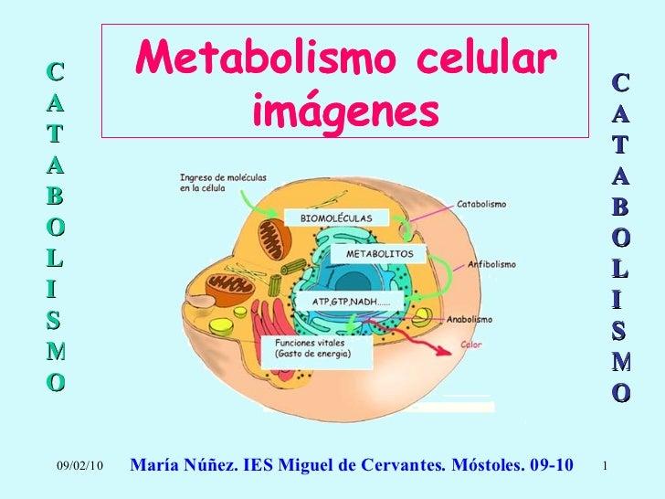 Metabolismo Catabolismo Imagenes
