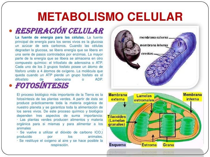 El Metabolismo De Los Fármacos  Mejor Сon Salud