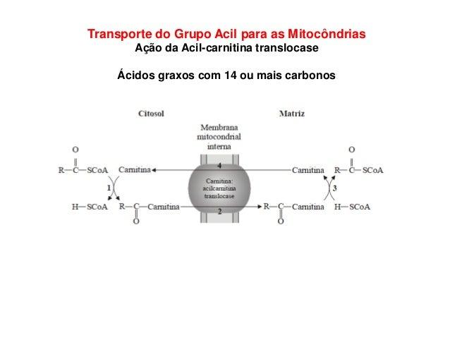 Transporte do Grupo Acil para as Mitocôndrias Ação da Acil-carnitina translocase Ácidos graxos com 14 ou mais carbonos