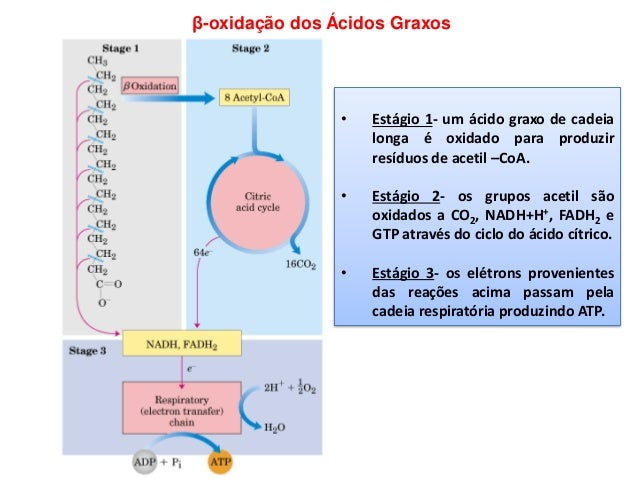 β-oxidação dos Ácidos Graxos • Estágio 1- um ácido graxo de cadeia longa é oxidado para produzir resíduos de acetil –CoA. ...