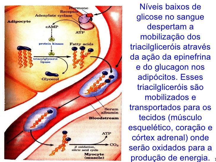 Níveis baixos de glicose no sangue despertam a mobilização dos triacilgliceróis através da ação da epinefrina e do glucago...