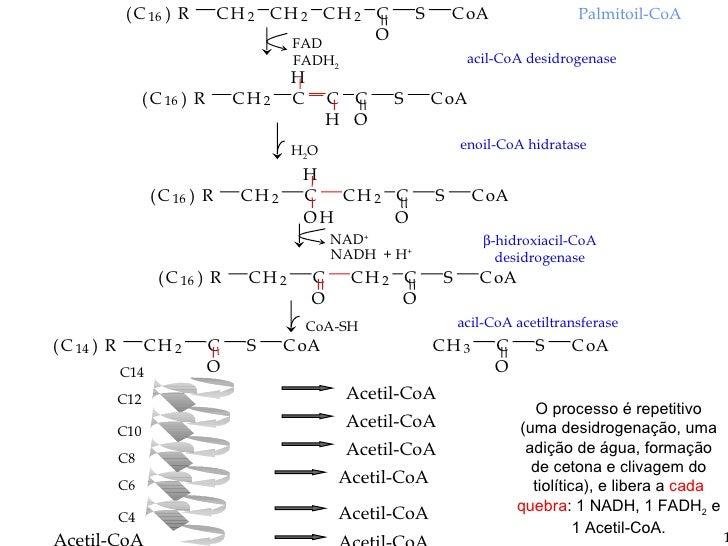 O processo é repetitivo (uma desidrogenação, uma adição de água, formação de cetona e clivagem do tiolítica), e libera a  ...