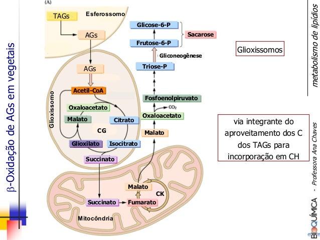 TAGsTAGs AGsAGs AGsAGs Esferossomo Acetil-CoAAcetil-CoA OxaloacetatoOxaloacetato Glioxissomo Mitocôndria CitratoCitrato Ox...
