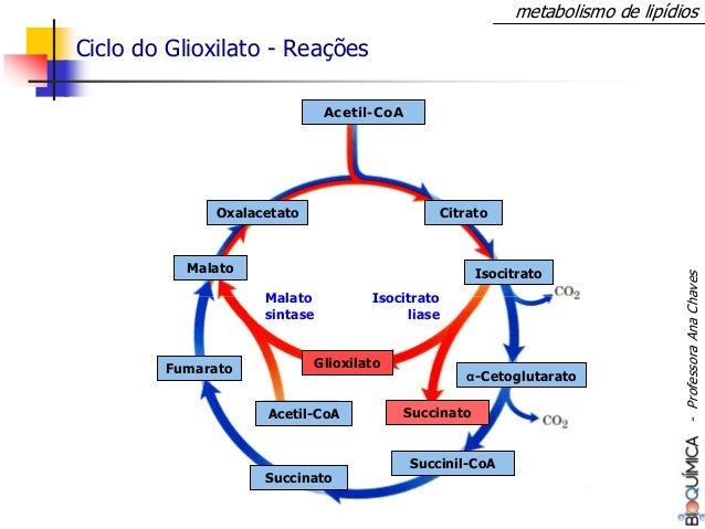 metabolismo de lipídios Ciclo do Glioxilato - Reações Acetil-CoA Citrato Isocitrato α-Cetoglutarato Acetil-CoA Fumarato Ma...