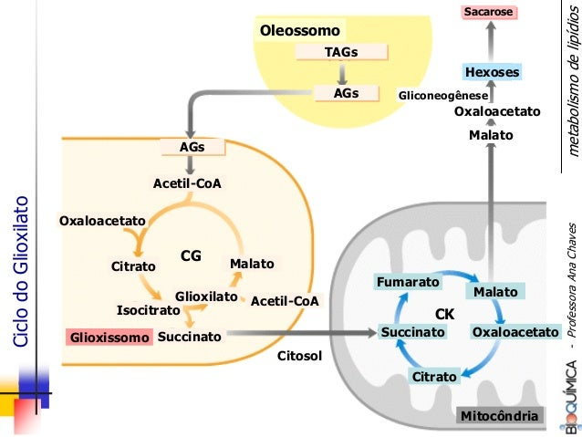 Citrato Isocitrato Glioxilato Succinato Malato Acetil-CoA AGsAGs SacaroseSacarose Gliconeogênese Oxaloacetato Oleossomo Gl...