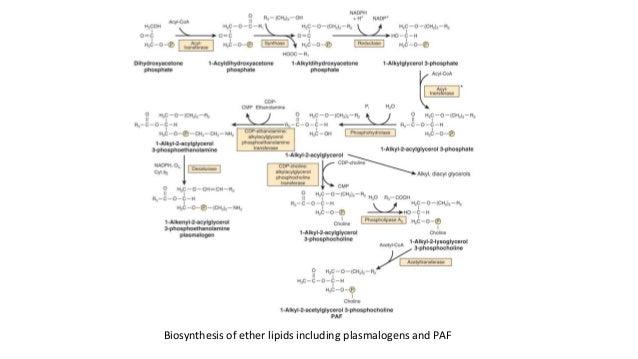 steroid-sulfatase precursor