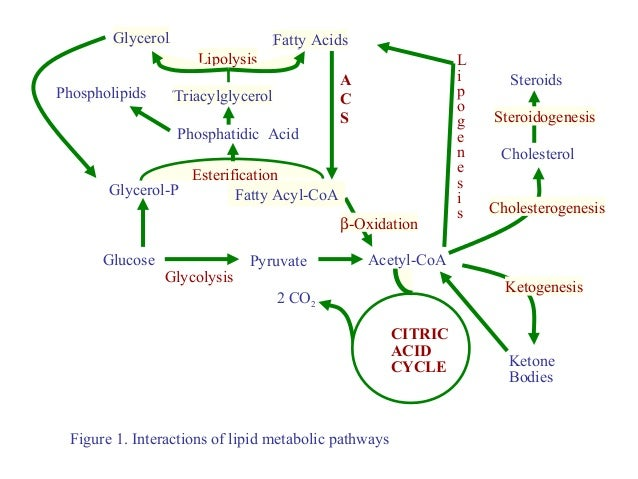 Metabolism Of Ketone Bodies on endocrine female cycle