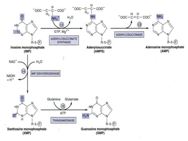 metabolism of nucleotides new