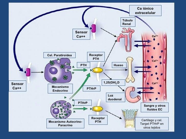 mecanismo de accion de los corticosteroides pdf