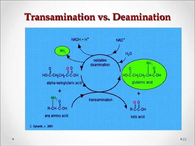Transamination vs. DeaminationTransamination vs. Deamination 25