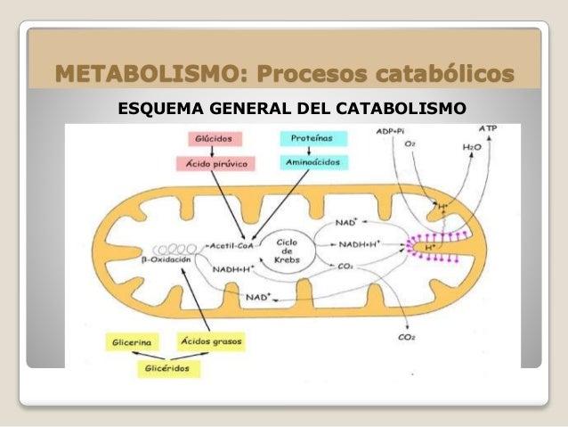 Consepto de metabolismo