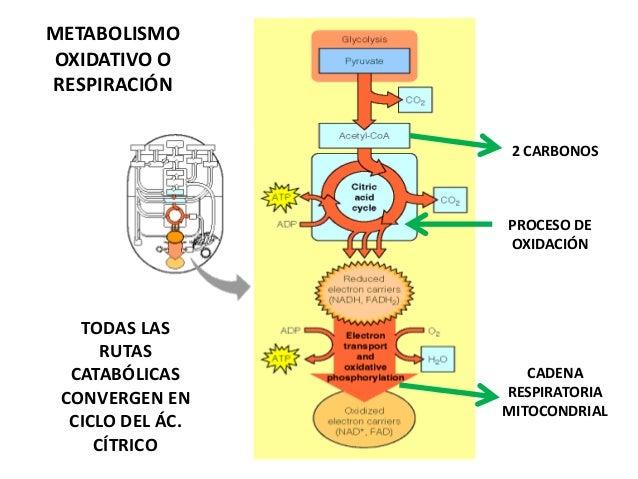 Reasearch en metabolismo basal que es
