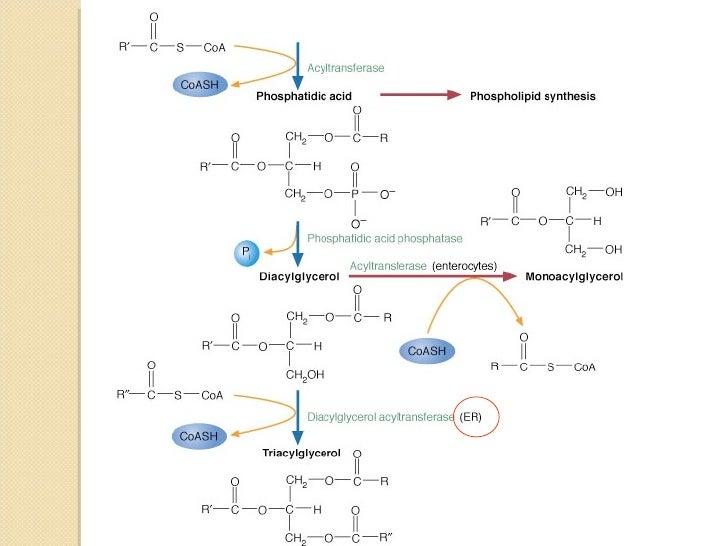 ruta anabolica de los cuerpos cetonicos