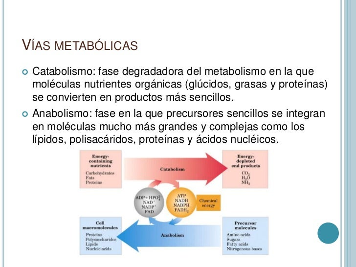 hormonas anabolicas funcion