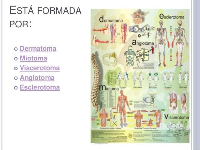 Metameras y desarrollo embrionario