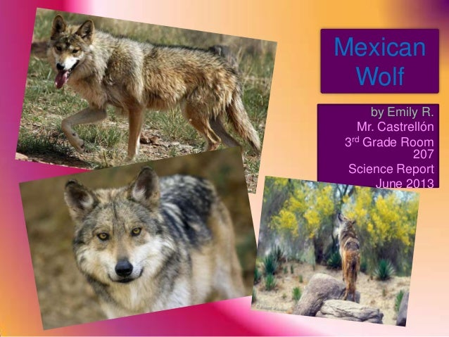 MexicanWolfby Emily R.Mr. Castrellón3rd Grade Room207Science ReportJune 2013