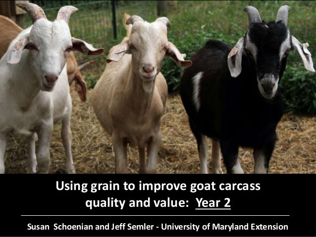Using grain to improve goat carcass quality and value: Year 2 Susan Schoenian and Jeff Semler - University of Maryland Ext...