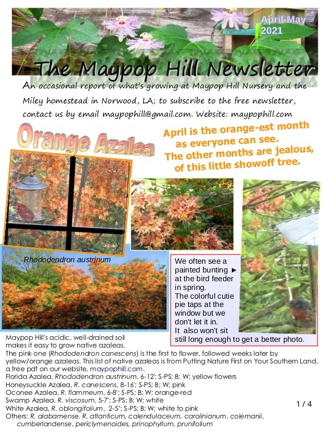 1 / 4 An occasional report of what's growing at Maypop Hill Nursery and the Miley homestead in Norwood, LA; to subscribe t...