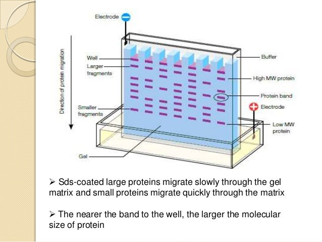 protein electrophoresis lab report