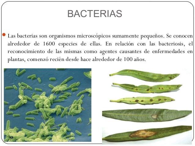 BACTERIAS Las bacterias son organismos microscópicos sumamente pequeños. Se conocen  alrededor de 1600 especies de ellas....