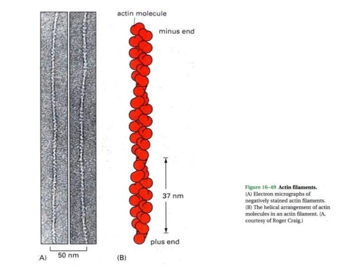 Microfilaments cytoskeleton